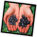 Hands with wild blueberries